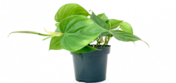 Philodendron scandens 5€