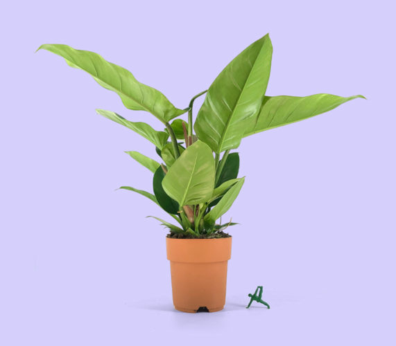 image du produit: Philodendron 'Imperial Green' 20€