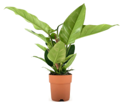 Philodendron 'Imperial Green' 20€