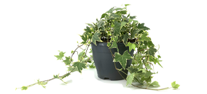 Hedera helix Witbont