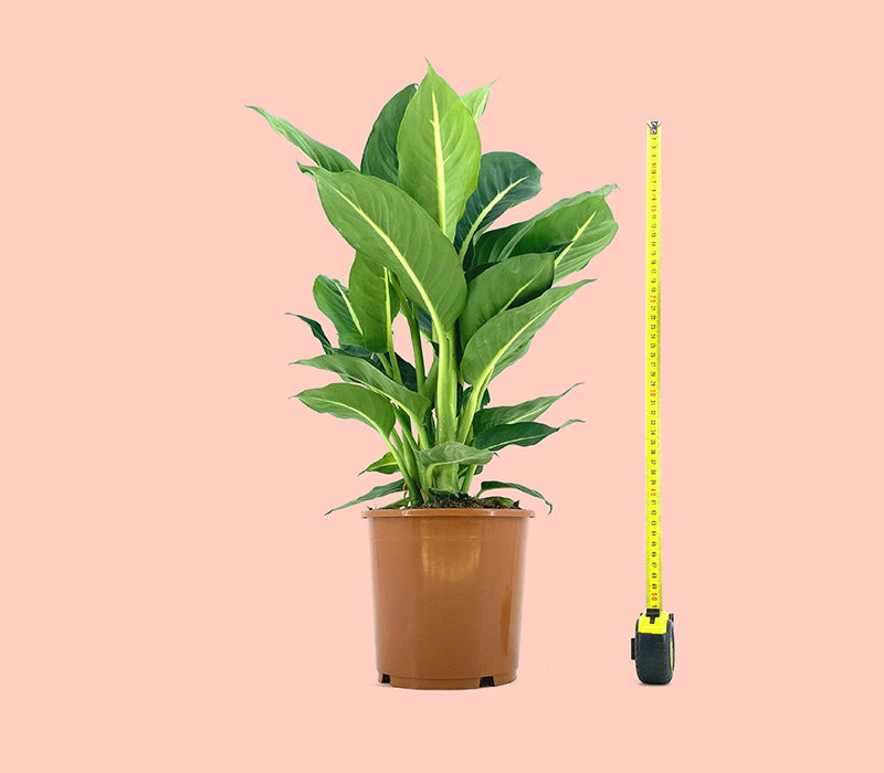 image du produit: Dieffenbachia 'Green Magic' 20€